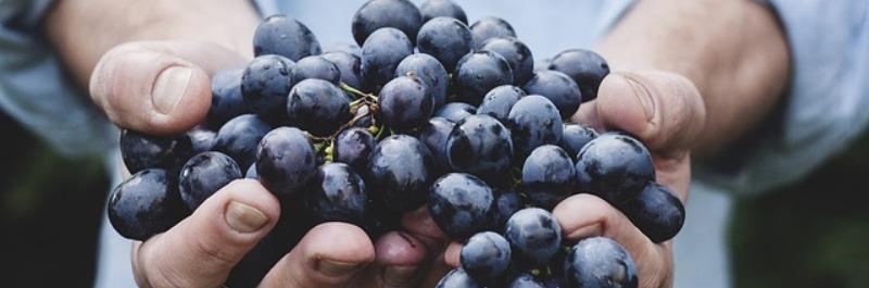 veel afvallen in korte tijd, hand vol met blauwe druiven